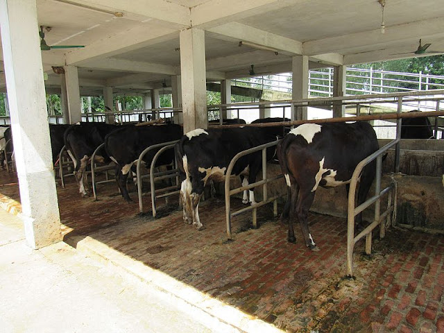 Dairy farm shade in Pakistan complete guide
