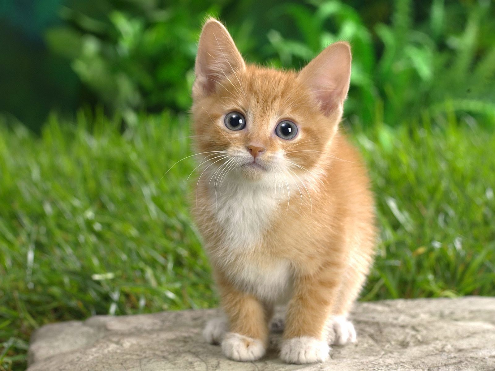 Most Beautiful Hd Wallpapers Cute Baby Cats Wallpapers