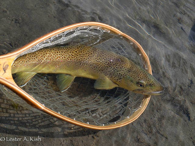 Brown trout, DePuy Spring Creek, Montana