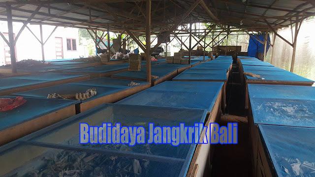 Budidaya Jangkrik di Bali kini bukan lagi dipandang sebagai perjuangan yang ecek Order WA 0858-5314-7511 Peluang ternak jangkrik di Bali Hasil Maksimal