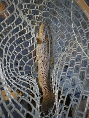 new england brown trout