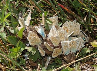 Polyommatus coridon libando en un excremento