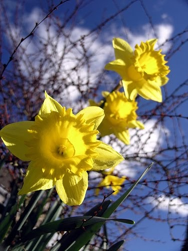 daffodil - photo #46