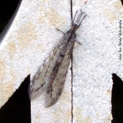 Antlion - Glenrus gratus - Leesburg, FL