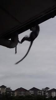 Monyet-Monyet Di Asrama