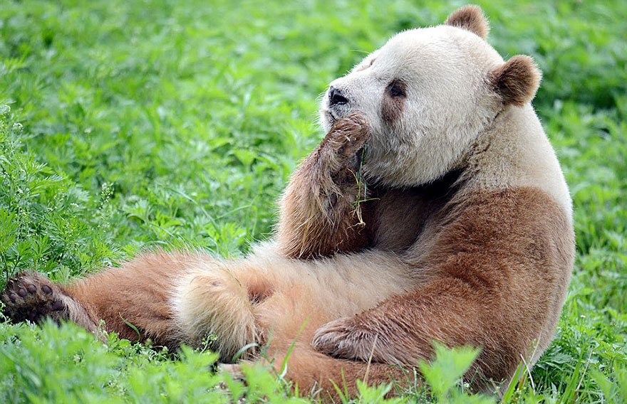 The World's Only Brown Panda Who Was Abandoned As A Baby, Finally Finds Happiness - Meanwhile, Qizai is enjoying a good life at the Foping Panda Valley