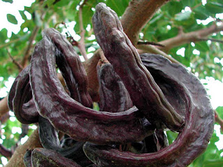carob fruit images