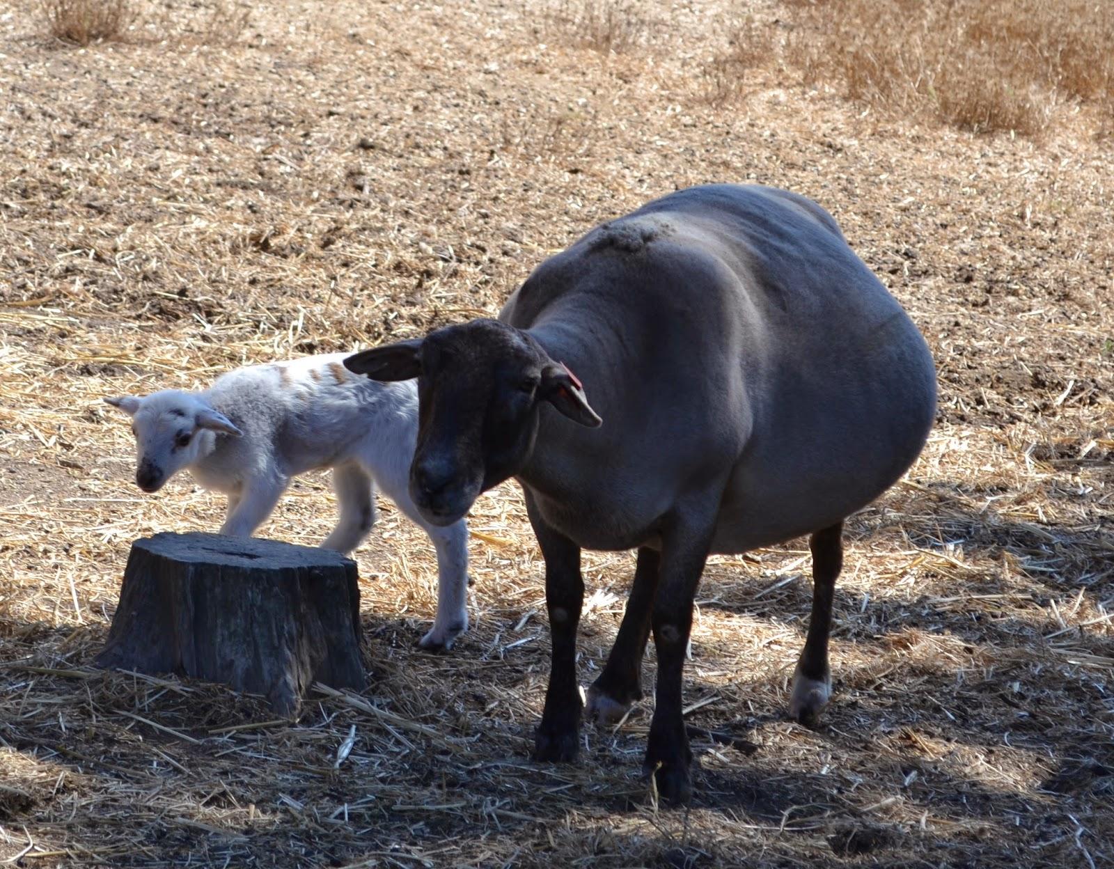 Car Mama-Lamb