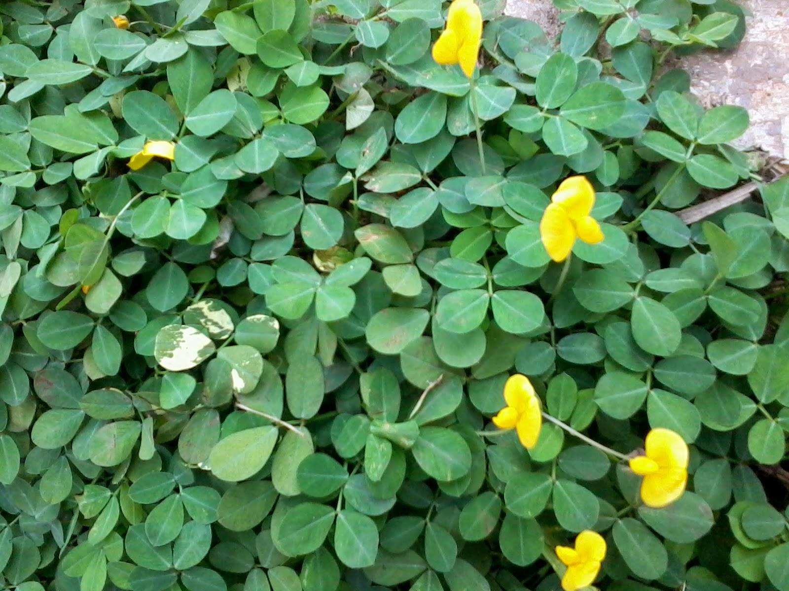 jual pohon kacang-kacangan | harga landep | tanaman hias landep
