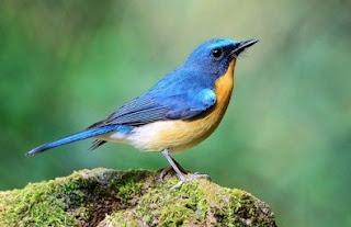 Tips Mengetahui Burung Tledekan Bambu Yang Akurat Dari Segi Fisik
