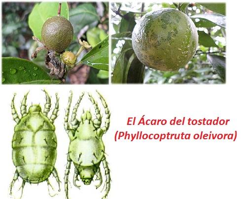 El Ácaro del tostador (Phyllocoptruta oleivora)