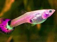 Ikan guppy beranak