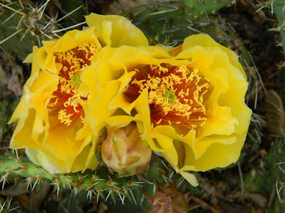Riverdale Ecological Garden Eastern Prickly Pear Opuntia humifusa flowers by garden muses-not another Toronto gardening blog