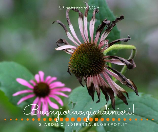 echinacea purpurea - l'agenda del giardino e del giardiniere - un giardino in diretta