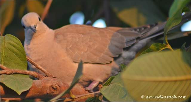 Eurasian Collared Dove or Collared Dove
