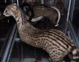 Harga dan pasaran harga musang di indonesia terbaru dan Terlengkap