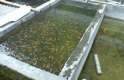 cara budidaya ikan nila di kolam beton,kolam terpal,terpal pdf,resensi,pembesaran ikan nila di kolam beton,memelihara,lele,gabus,