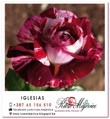 Šarena belo roze stablašica Iglesias