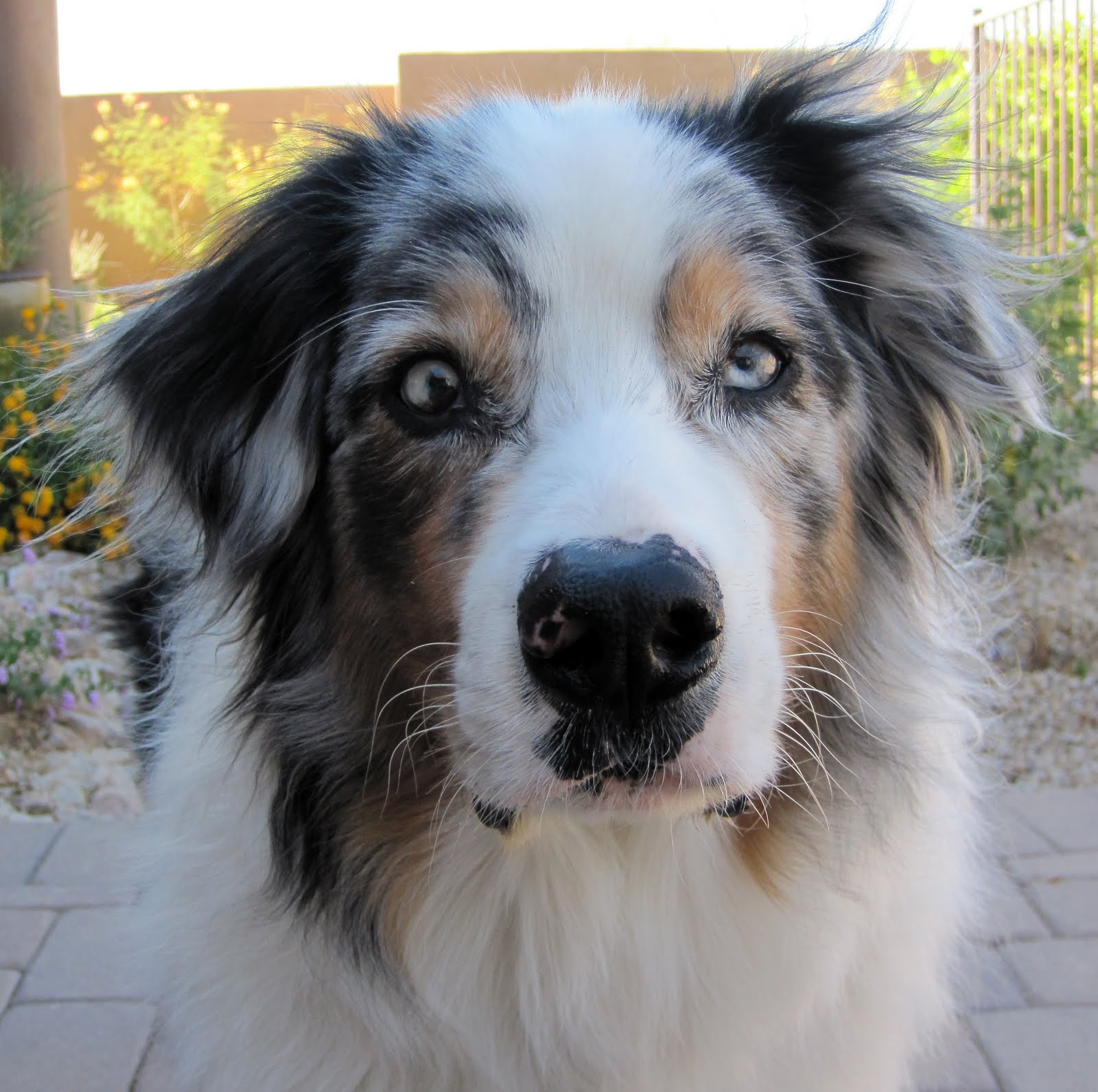 Australian Shepherd With Uveodermatological Syndrome