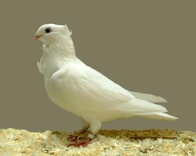 Gentse Meeuw - Cravaté Gantois - wihte owl pigeons