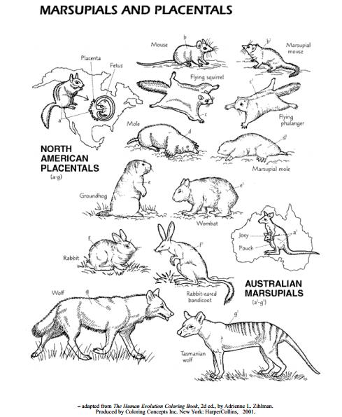CONVERGENT EVOLUTION: MARSUPIALS AND PLACENTALS ...