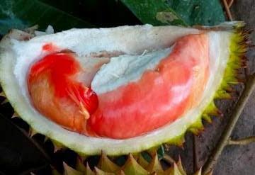 Durian merah Balqis.