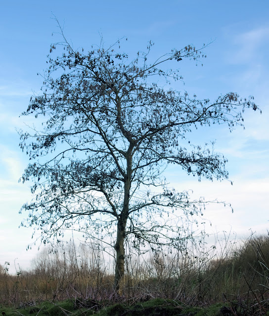 Alder tree with catkins against the sky