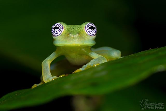Sachatamia ilex - Ghost Glass Frog