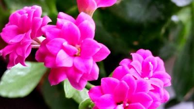 Zimmerpflanzen Sonnenfenster nunu s garn und stofflabor flammendes käthchen oder