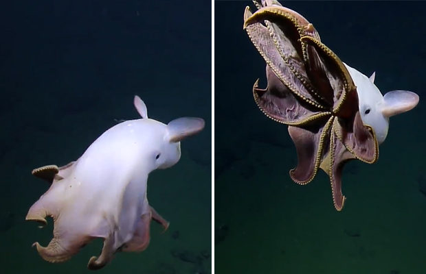 """The head of the research group believes that the findings of the """"ghostly"""" octopuses will be useful not only to scientists, but also to experts studying the behavior of marine life."""