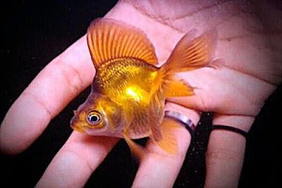 Gambar Ikan Mas Koki Mini