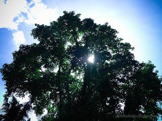 Morning Sunlight Behind The Big Wild Tree At Ringdikit Farmfield, North Bali, Indonesia