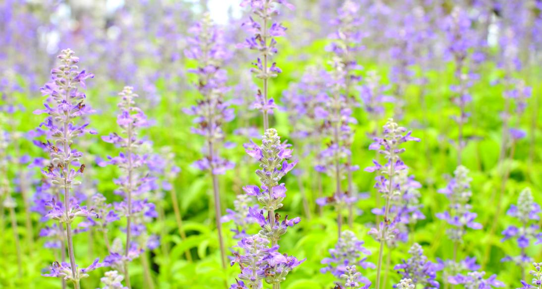 Salvia, una droga legal con muchas propiedades medicinales.