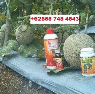 Solusi Dan Cara Agar Melon Terbebas Dari Jamur Dengan GLIO