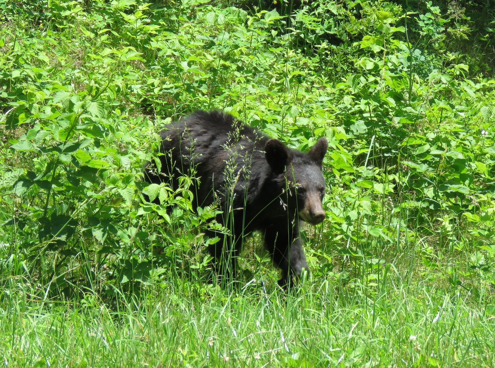 Black Bear Seen Along The Skyline Drive In Northern Section Of Park