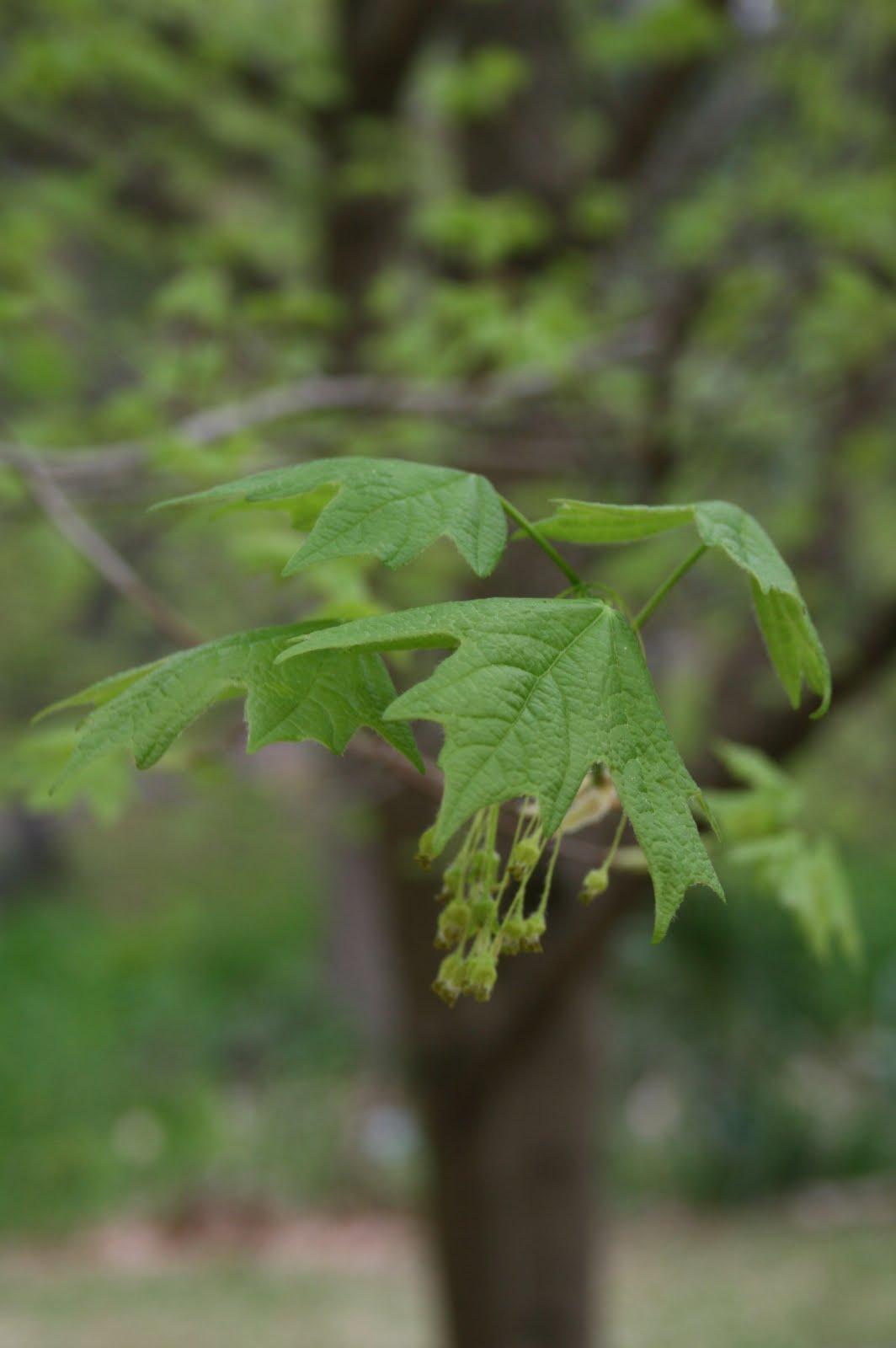 Centenary College Arboretum Acer Barbatum