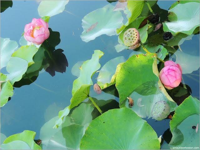 Loto Sagrado en el Dream Lake del Jardín Chino, Montreal