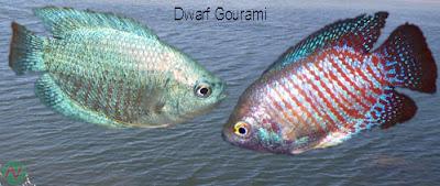 dwarf gourami, dwarf gourami fish,খইলশা মাছ