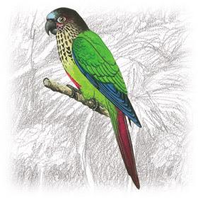 Periquito-Estrela (Brotogeris versicolurus)