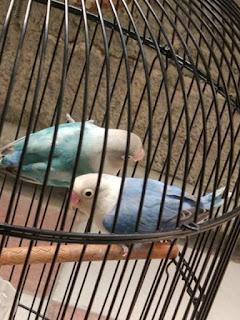 perawatan lovebird setelah meloloh anaknya