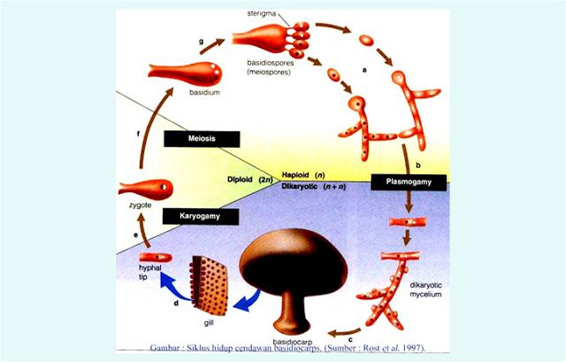Reproduksi Fungi (Jamur)