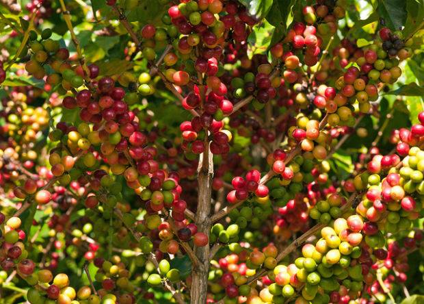 Traditional crops, coffe