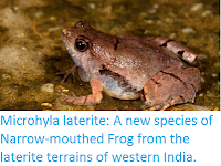 http://sciencythoughts.blogspot.co.uk/2016/03/microhyla-laterite-new-species-of.html