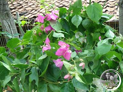 Mitos Bunga Bugenvil didepan rumah dan Jodoh