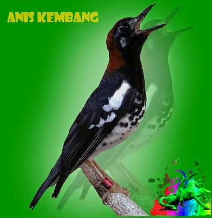 Suara Burung Anis Kembang Gacor Mp3