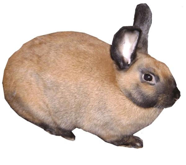 conejo de canela, conejo de canela, temperamento de conejo de canela, raza de conejo de canela, características de conejo de canela, comportamiento de conejo de canela, color de conejo de canela, peso de conejo de canela, duración de conejo de canela, vida útil de conejo de canela, conejo de canela, historia de conejo de canela, perfil de raza de conejo de canela , foto de conejo de canela, hechos de conejo de canela, información de conejo de canela, origen de conejo de canela, usos de conejo de canela