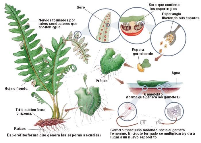 Reino vegetal plantae jardin botanico for Cuales son las partes de un arbol