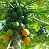 Papaya Cultivation Guide || Advanced cultivation of papaya