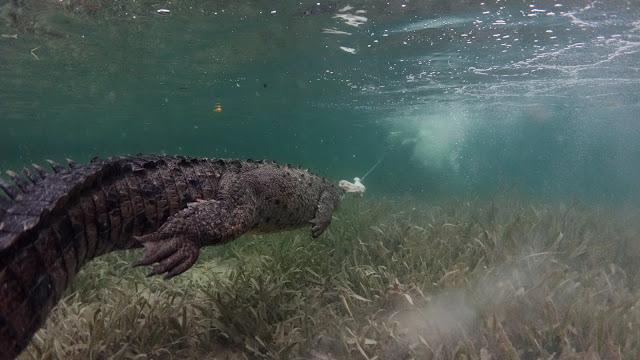 Crocodile hunts chicken