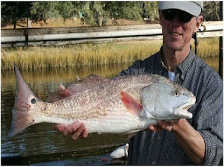 Nama Nama Ikan Laut Dangkal REDFISH / RED DRUM ( SCIAENOPS OCELLATUS )